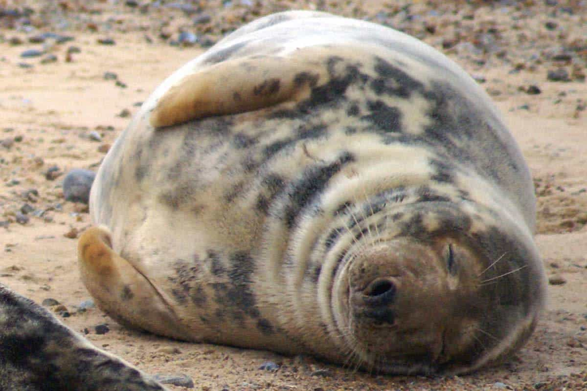 Seal At Blakeney