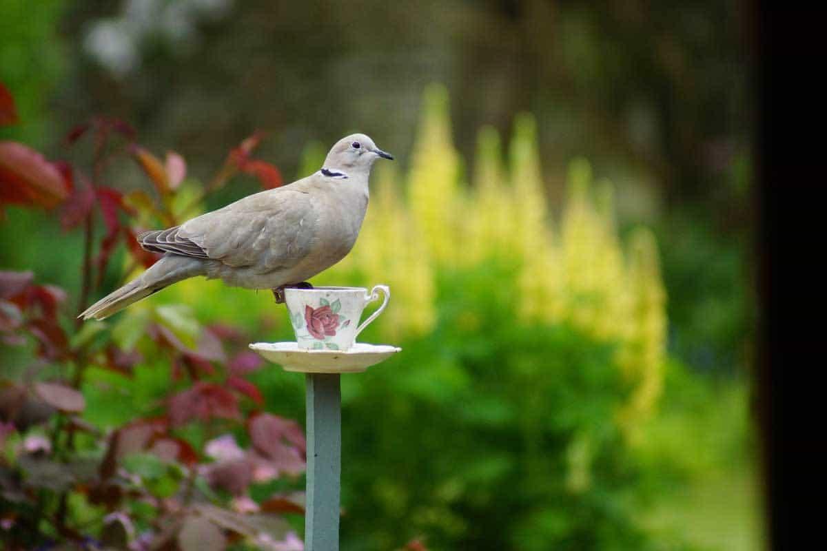 Collared Dove - Back Garden