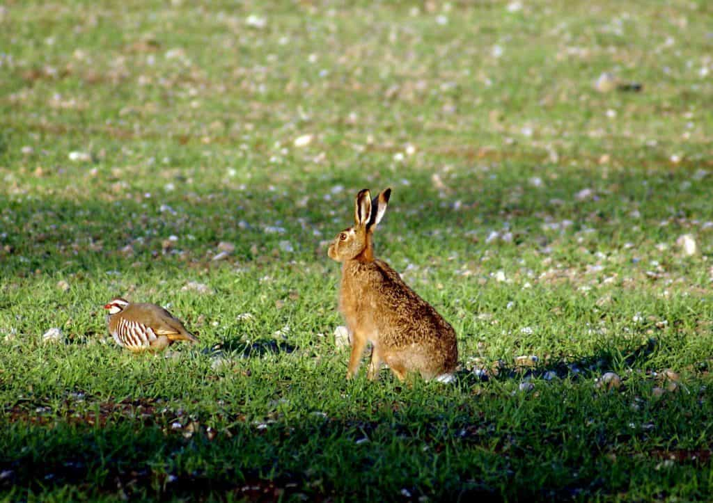 003 HARE AND RED LEGGED PARTRIDGE