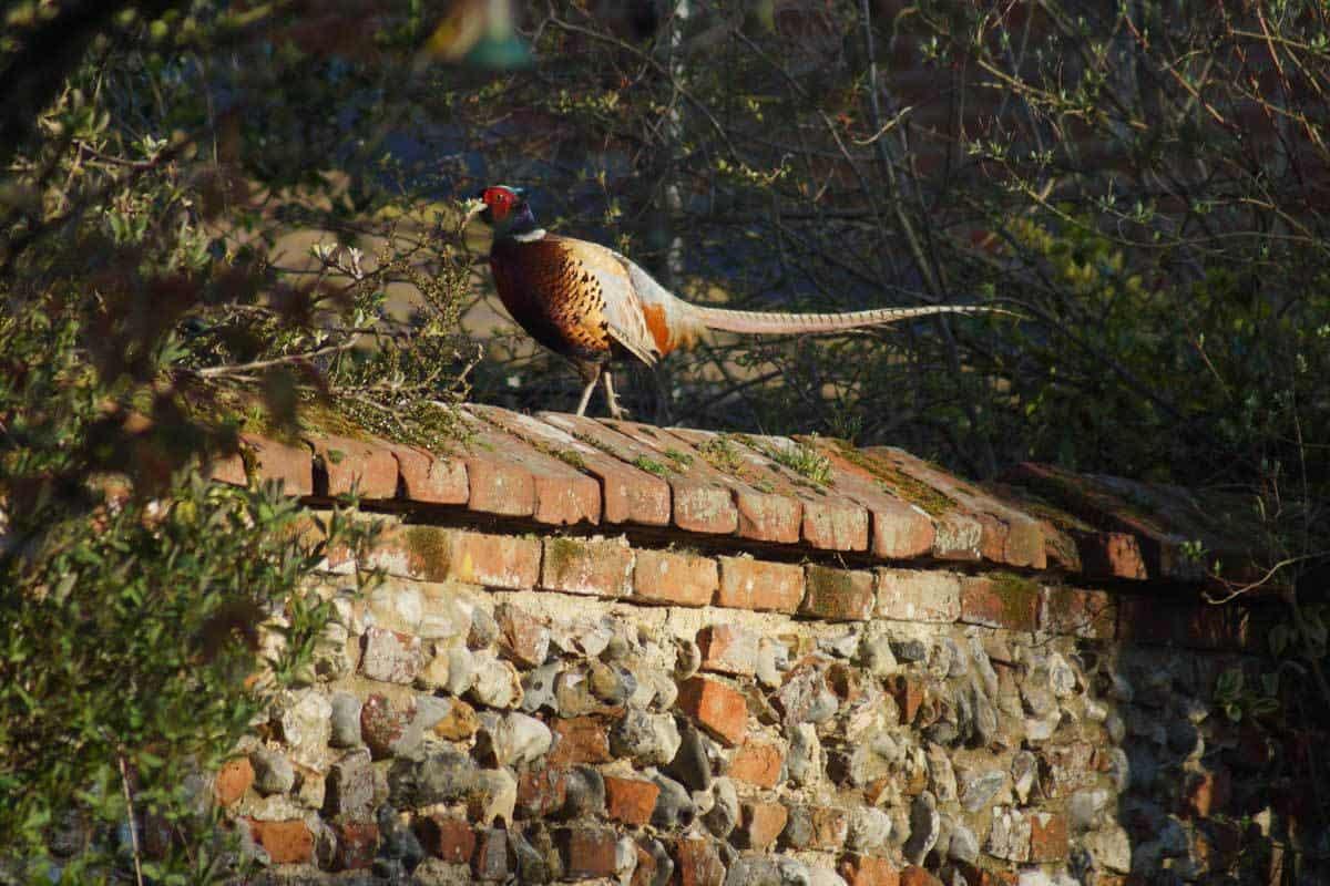 Pheasant - Back Garden